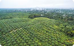 Pădurile Indoneziei continuă să fie nimicite de magnații uleiului de palmier