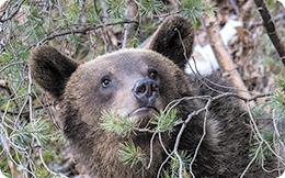 Amenzi pentru cei care hrănesc ilegal urșii