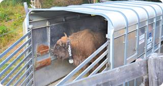 Crește numărul zimbrilor din Munții Țarcu