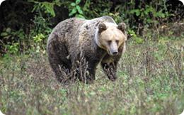 Senatul a votat: liber la vânătoarea de capre negre, ciocârlii și urși