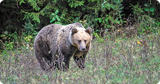 WWF încearcă să salveze urșii de inițiativele parlamentarilor